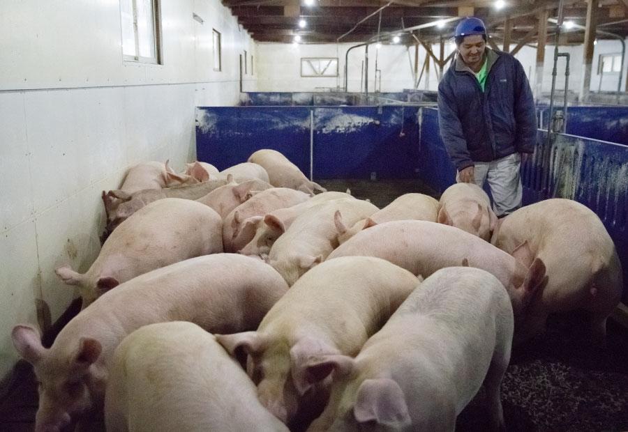 肥育課 豚の管理